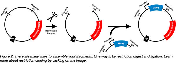 Restriction cloning into plasmid