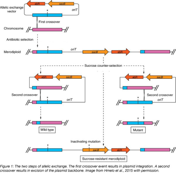 allelic exchange steps include plasmid integration and excision of plasmid backbone