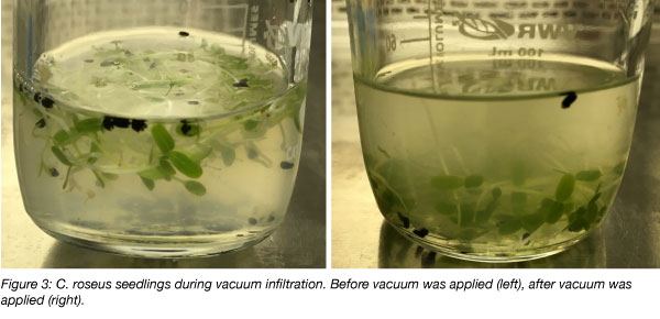 plant transient transformation vacuum infiltration method