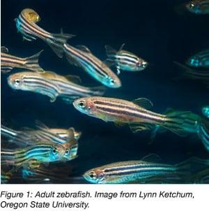 Zebrafish adult