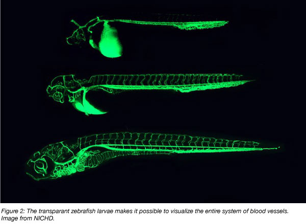 blood vessels visible in the zebrafish