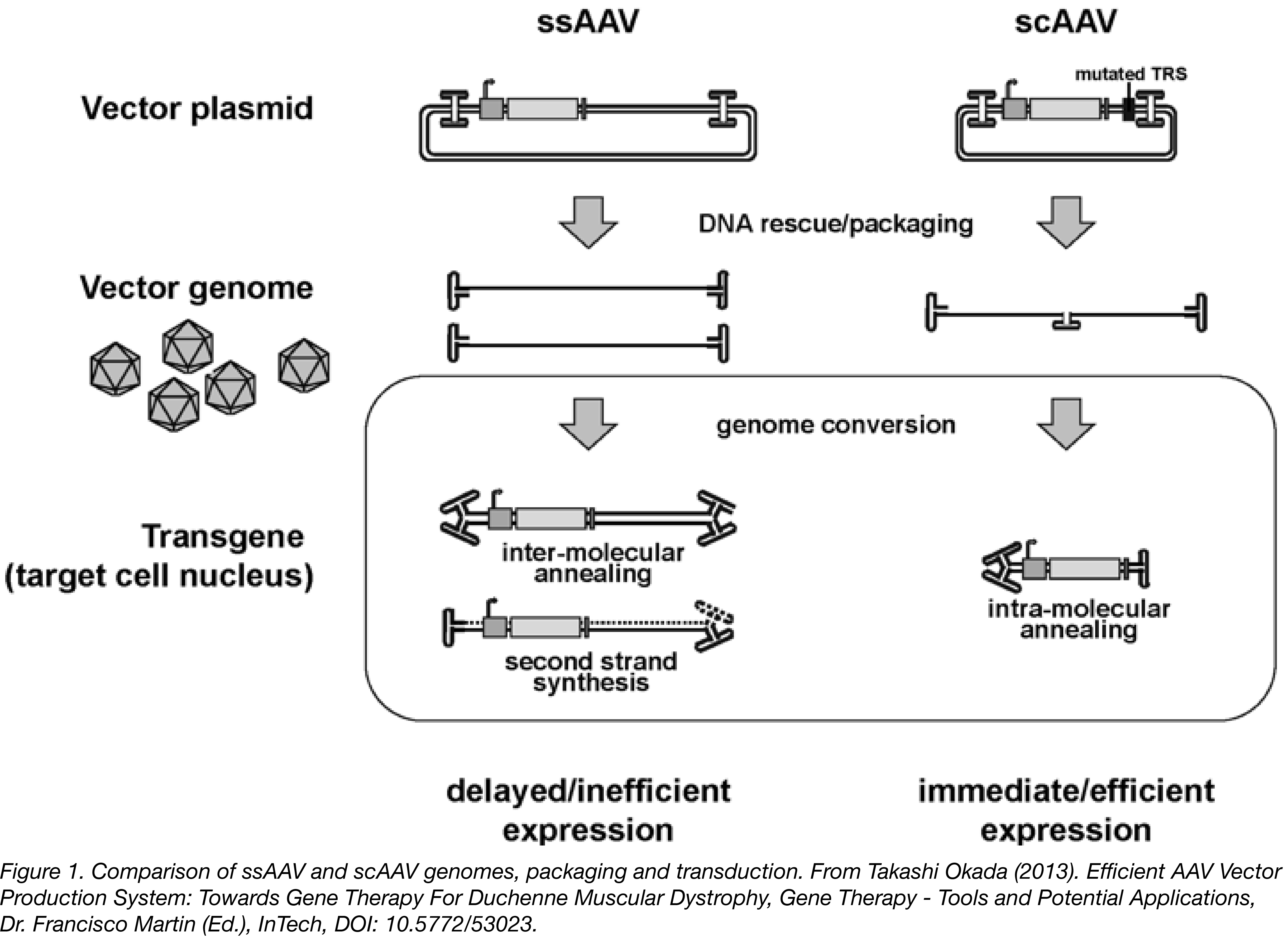 Comparison of ssAAV and scAAV genomes