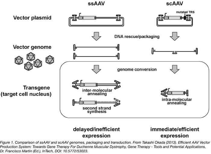 AAV: A Versatile Viral Tool for Gene Expression in Mammals