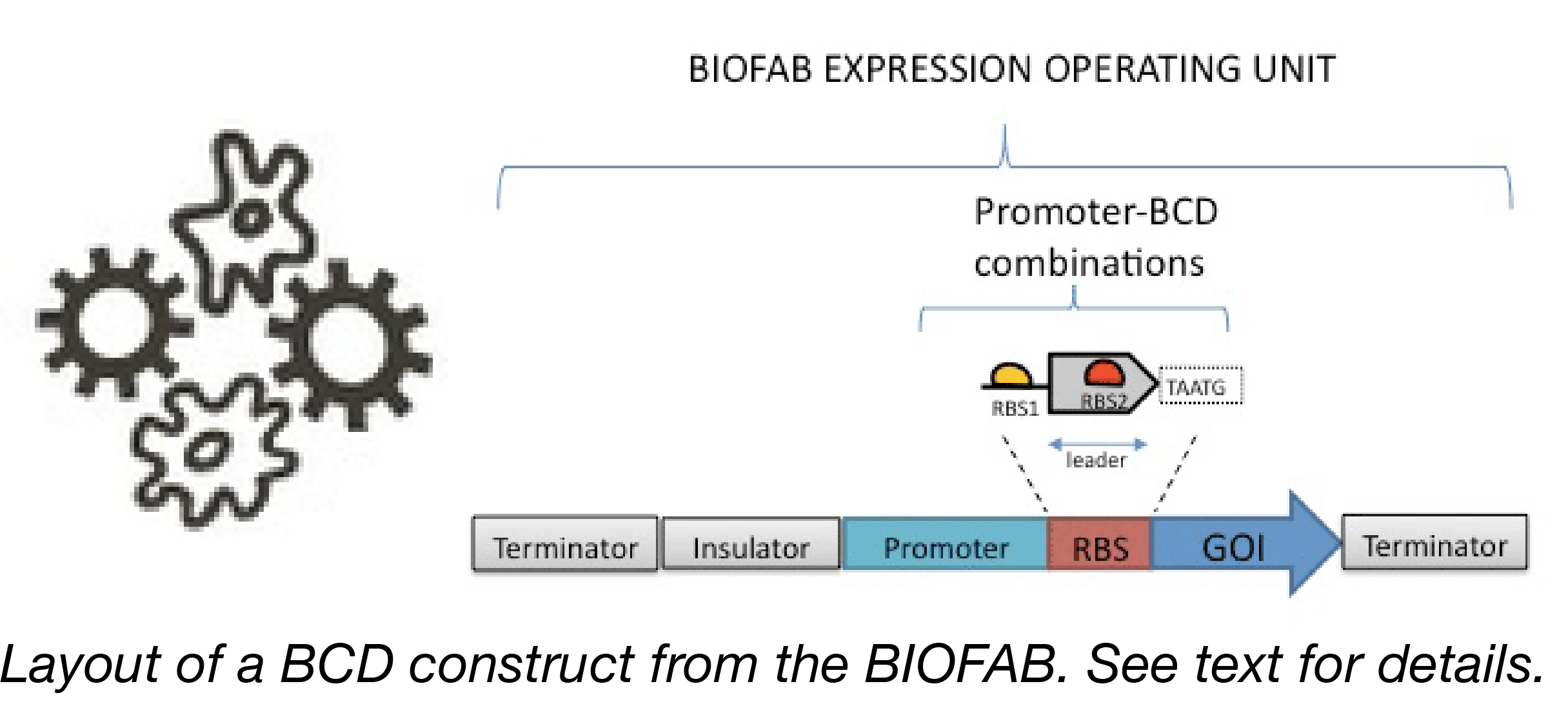 BIOFAB BCD Construct