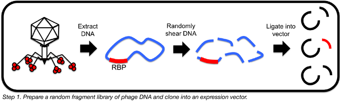 preparing a random fragment library of phage DNA to clone into an expression vector
