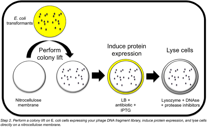 perform a colony lift on E. coli cells expressing phage DNA fragment library