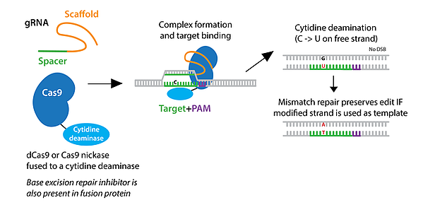 Schematic of cytosine base editing. gRNA and Cas9-cytidine deaminase fusion come together, and forms a complex and binds the target. Cytidine deamination turns a C to a U on the free strand. Mismatch repair preserves edit if the modified strand is used as the template.