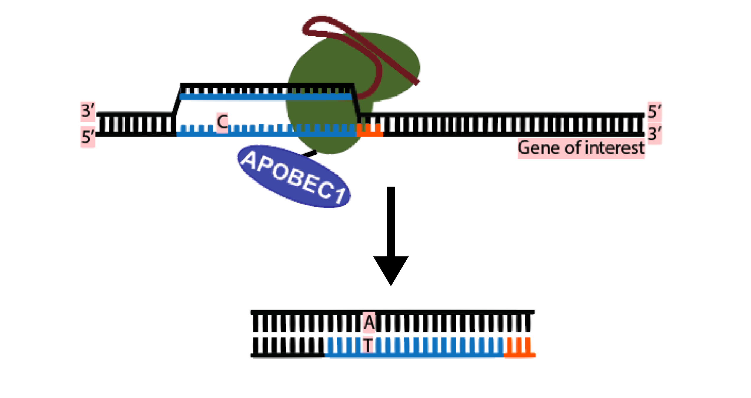 CRISPR Single Base Editor