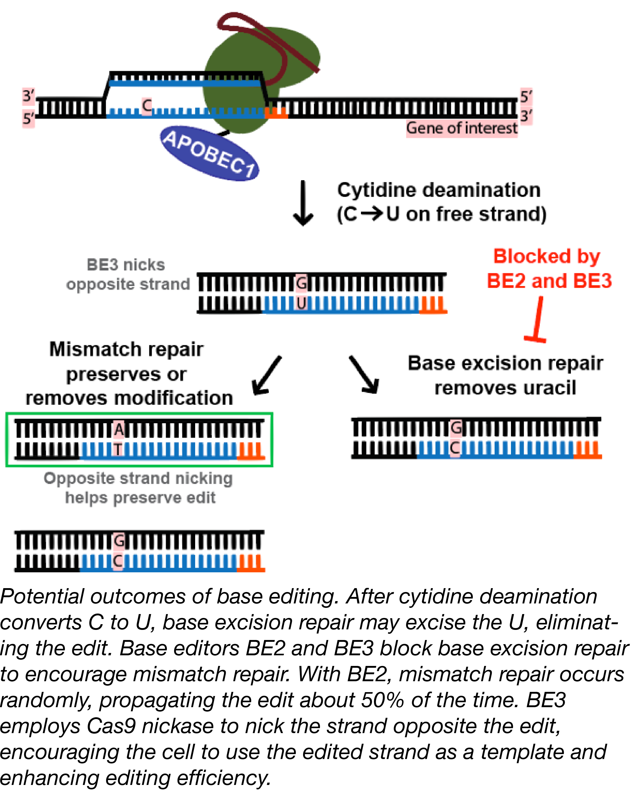 CRISPR APOBEC1 Fusion Editing DNA