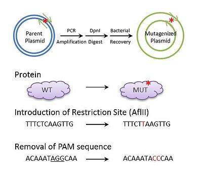 Site Directed Mutagenesis Graphical Abstract