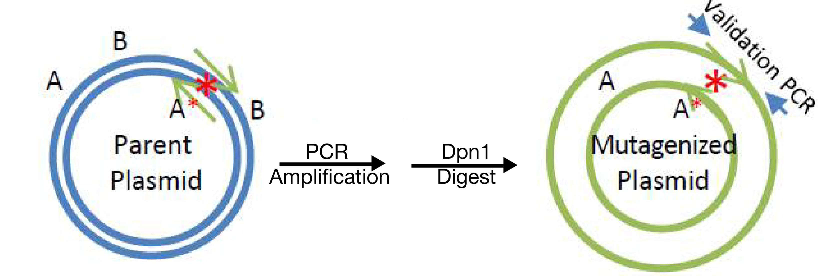 Site Directed Mutagenesis Overview