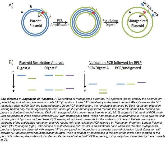 Site Directed Mutagenesis Summary