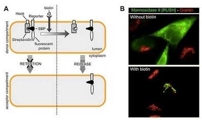 Synchronization of secretory protein traffic in mammalian cells