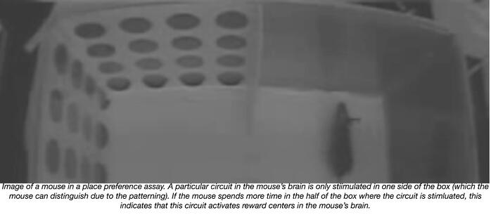 Mouse in a place preference behavioral experiment