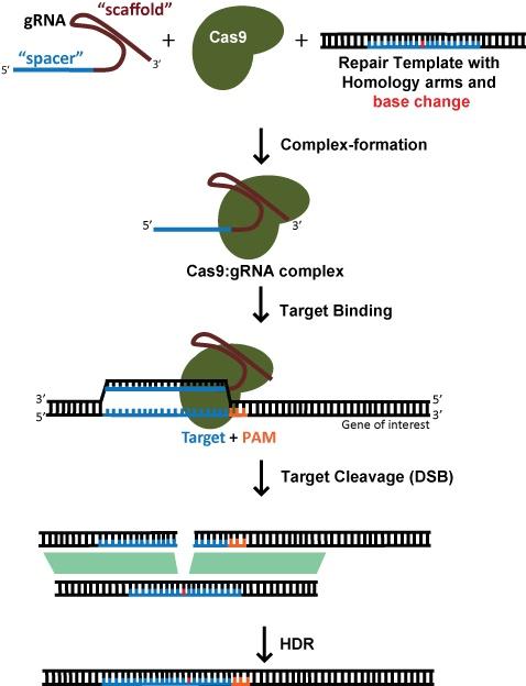 Diagram: Using CRISPR to perform genome editing