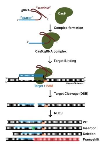 Diagream: Using CRISPR to create Indels