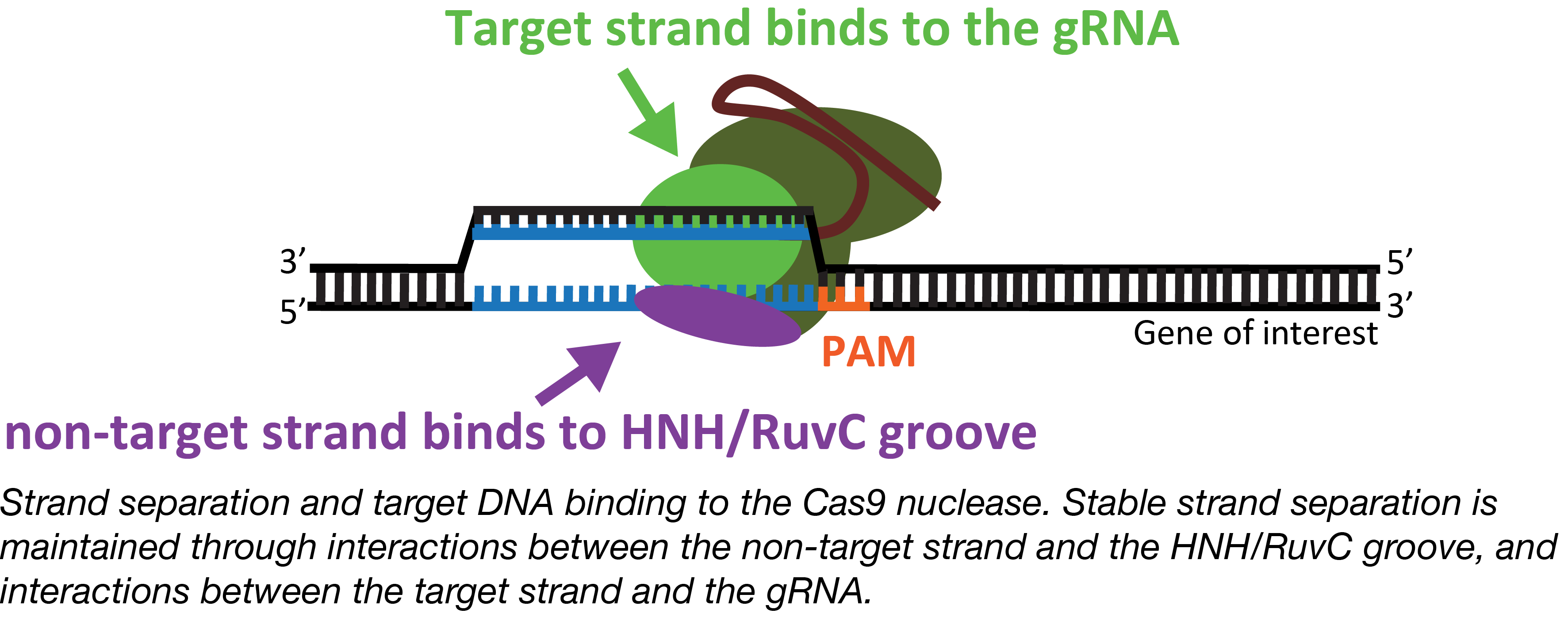 CRISPR Strand Separation
