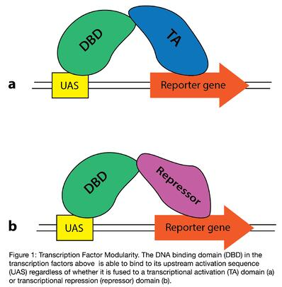 Transcription factor modularity. The DNA binding domain in a transcription factor is able to bind its upstream activation sequence even if it's not fused to a transcriptional activation domain or transcriptional repression domain.