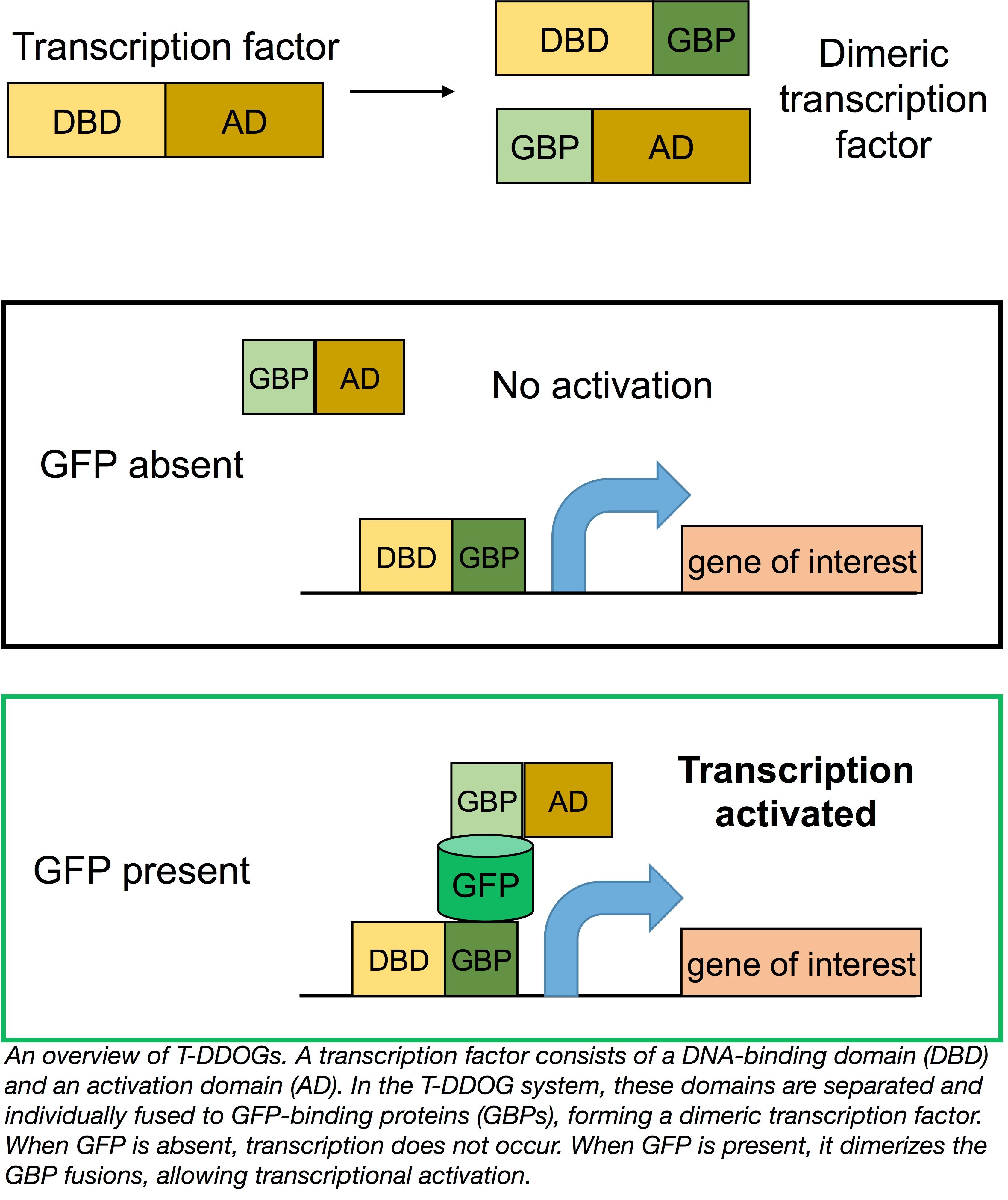 T-DDOG Split Transcription Factors from the Cepko Lab