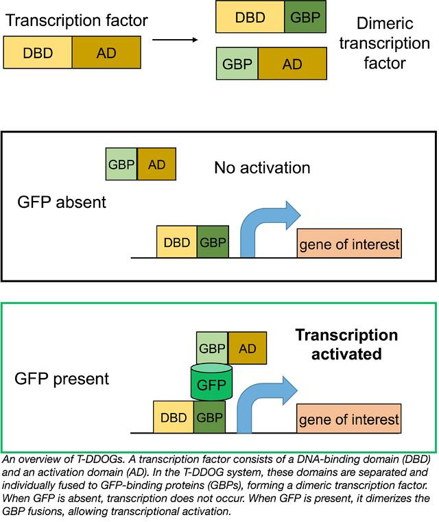 T-DDOG Split Transcription Factors from the Cepko Lab