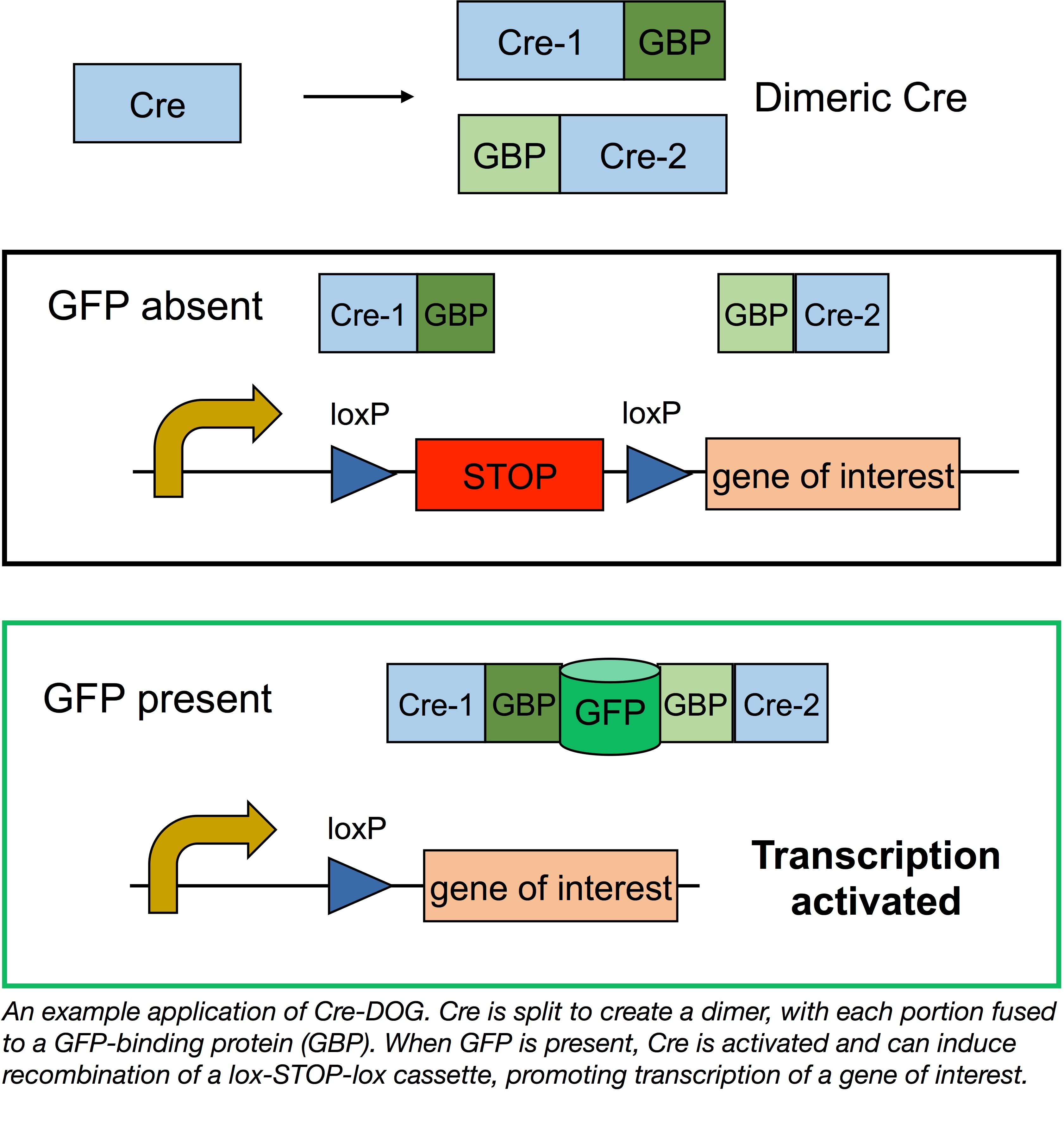 Cre-DOG split recombinase system engineering by the Cepko Lab