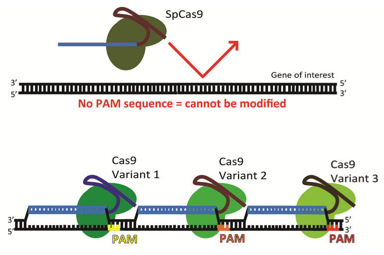 Cas9 Variants with different PAM requirements can be used for genome engineering efforts targeting differet loci