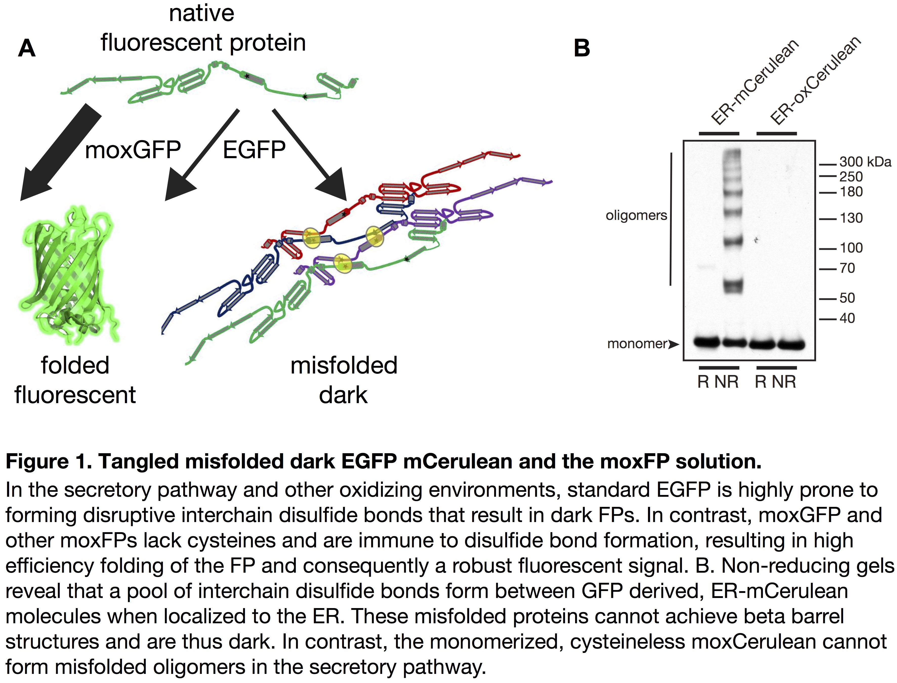 Fluorescent protein misfolding and disulfide bond formation leads to the productions of non-functional fluorescent proteins