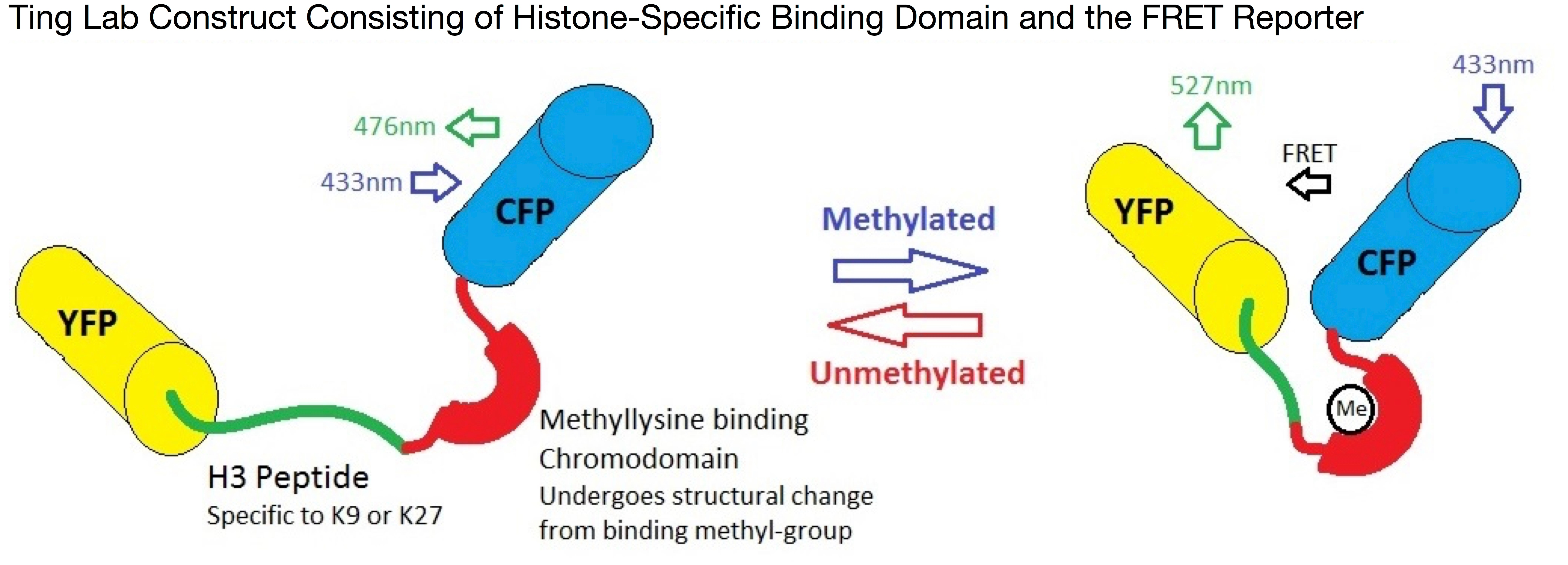Ting lab FRET based biosensor for histone modifications