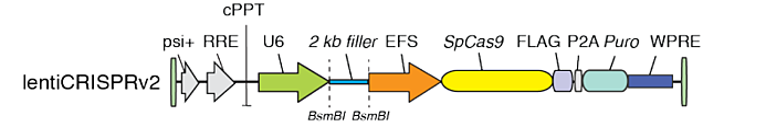 linear lentiCRISPR v2