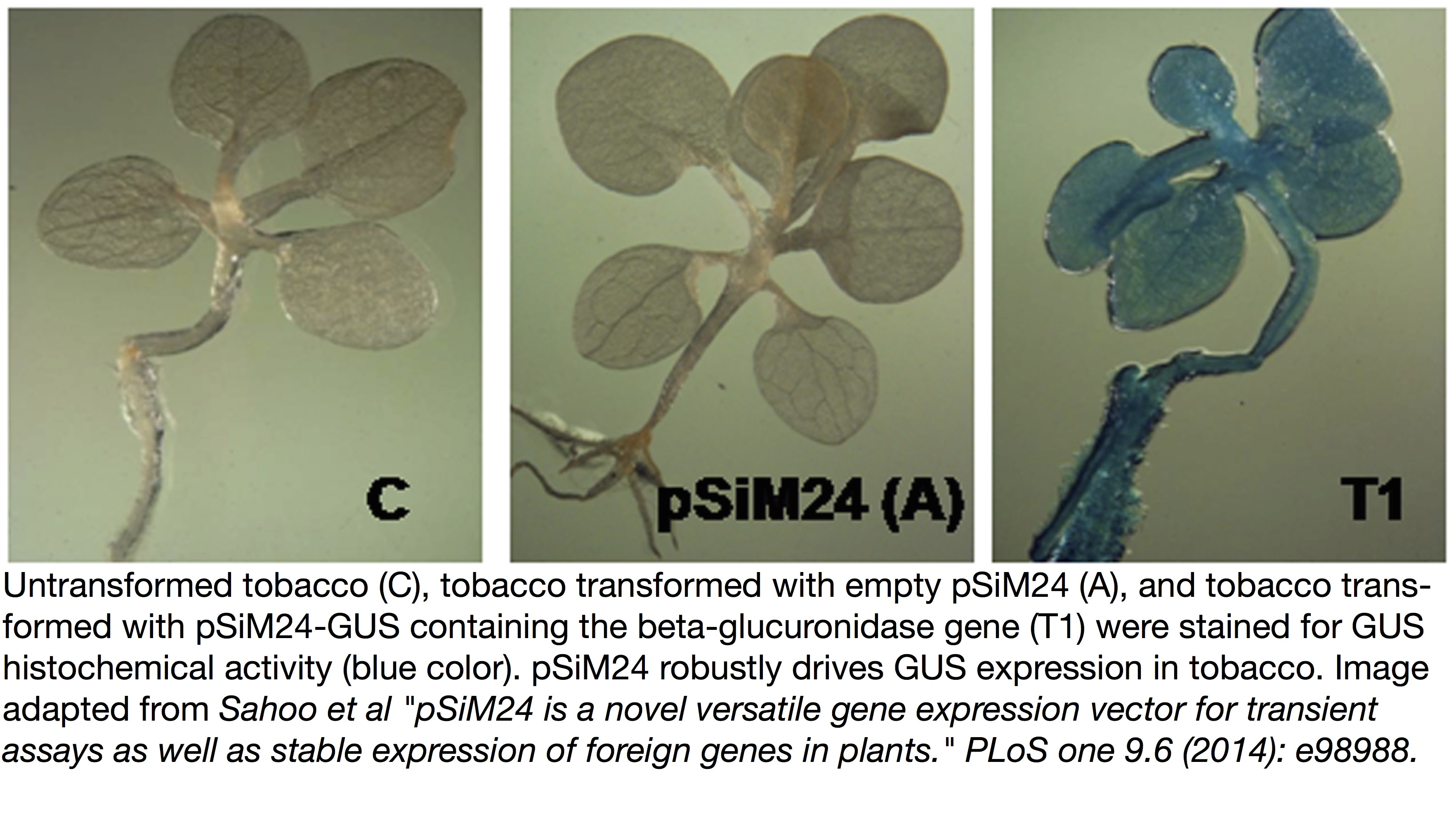 GUS expression driven by binary vector pSiM24