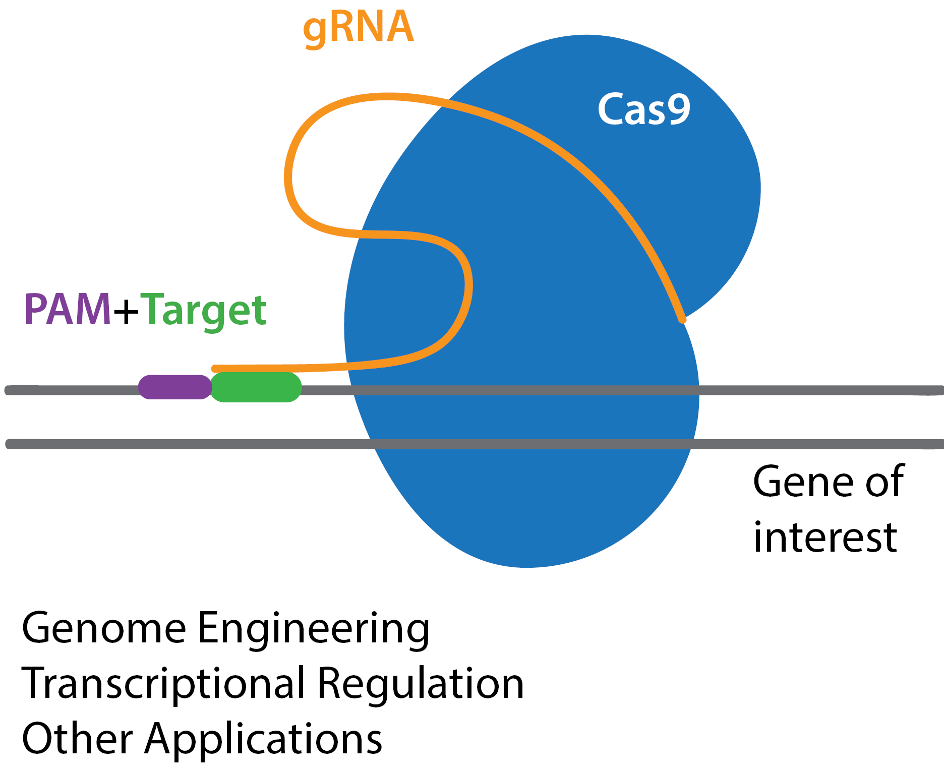 Key components of CRISPR-Cas9: Cas9 endonuclease, gRNA, PAM, and target sequence. CRISPR applications: genome engineering, transcriptional regulation, and other applications.