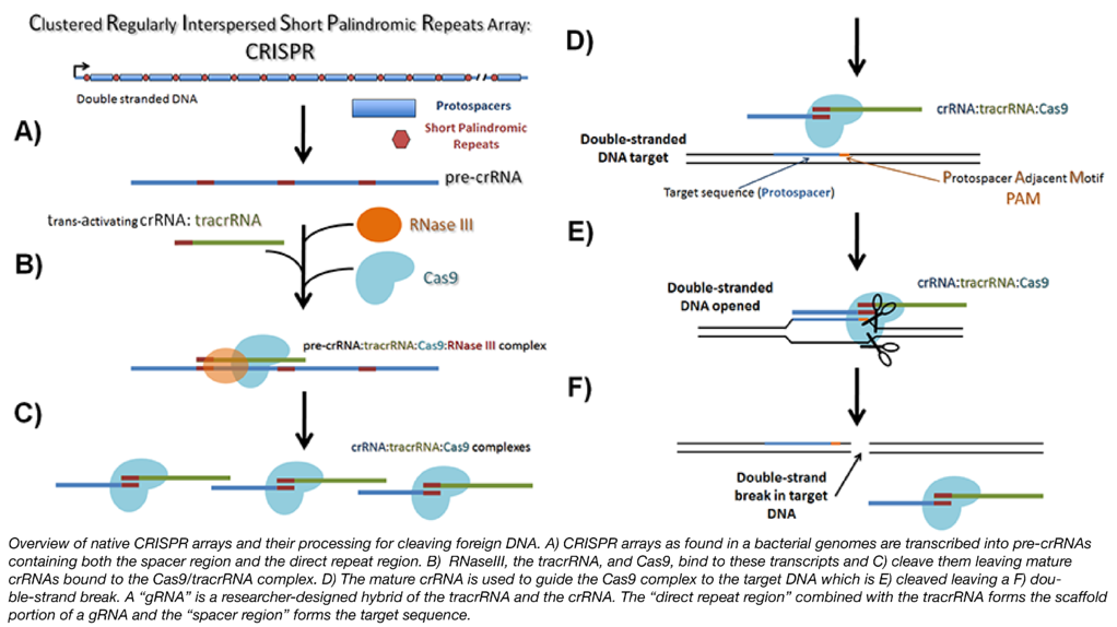Bacterial CRISPR genomic arrays and their processing