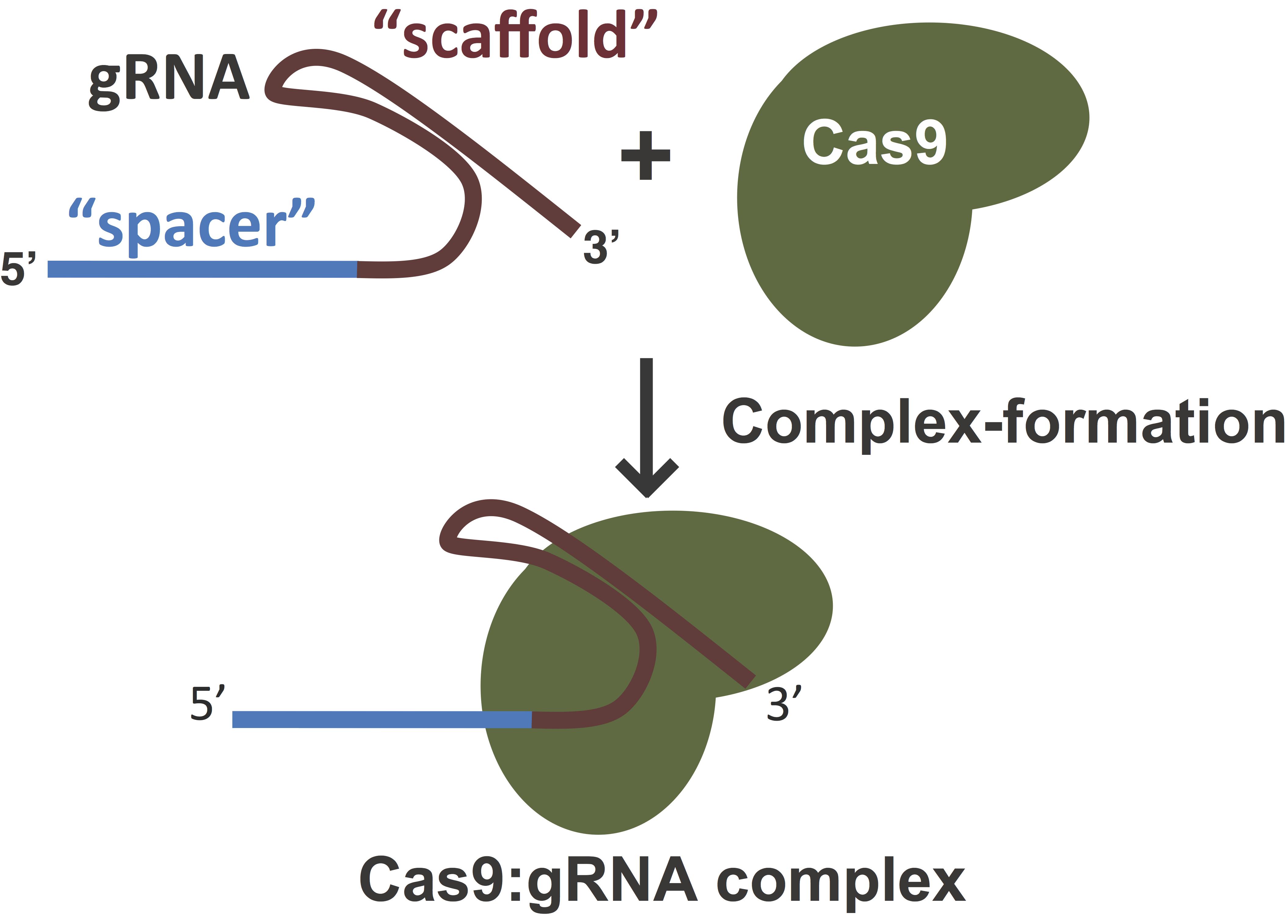 CRISPR_Components_Clipped.png