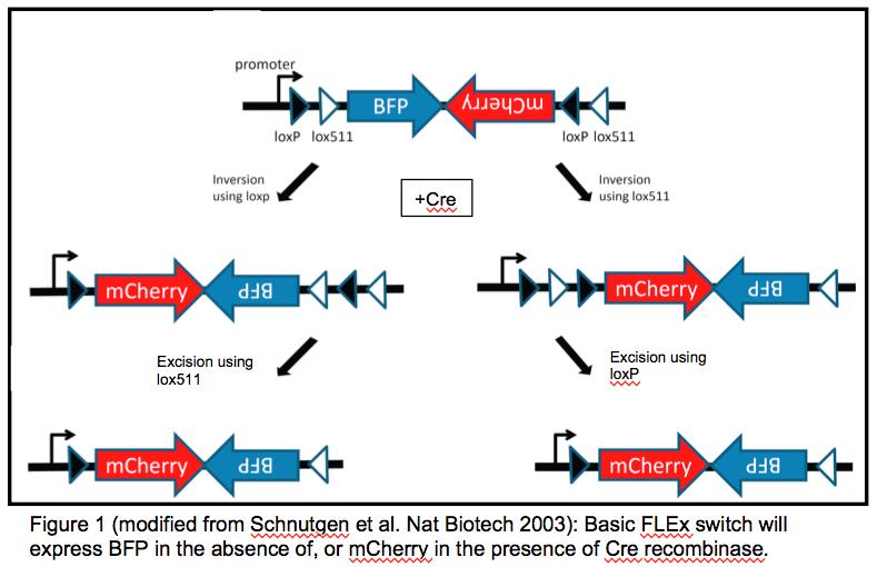 FLEx switch to swap BFP for mCherry expression