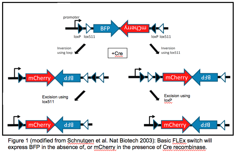 FLEx switch to swap BFP for mCherry expression