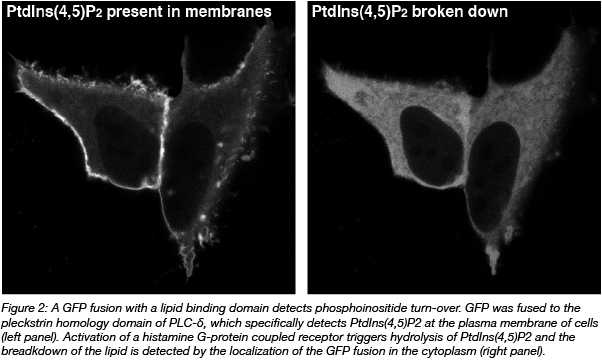 GFP fusion lipid binding domain phosphoinositide