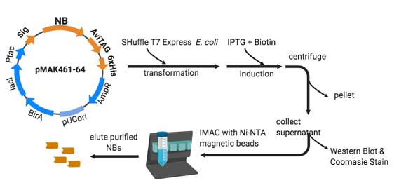 The workflow of nanobody production from pMAK461-64