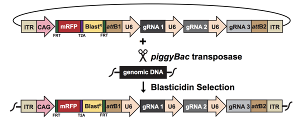 Diagram of the plasmid and genomic integration. The multi-gRNA piggyBac vector integrates into genomic DNA using piggyBac transposase. Integrants are selected with blasticidin.