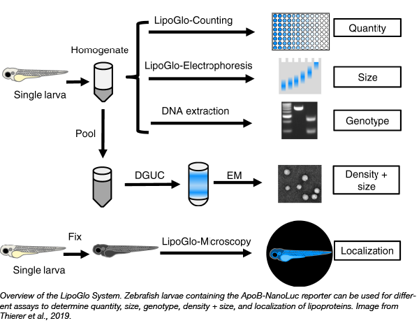 LipoGlow System can be used to measure lipoprotein quantity, size, density, and localization
