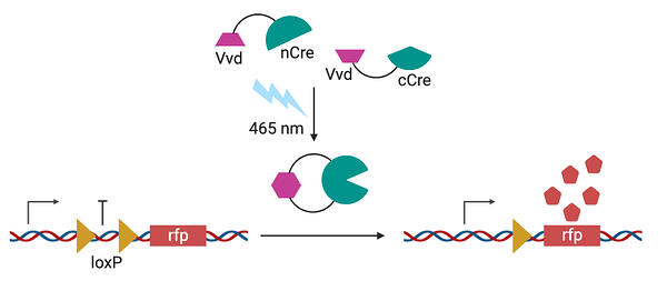 Schematic of blue light bringing together Vvd subunits that for a functional Cre recombinase. The Cre recombinase excises a loxP site to allow trancription of downstream rfp.