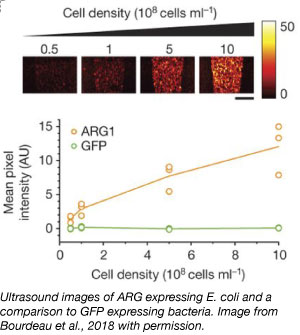 ultrasound images of ARG acoustic reporter expression in bacteria