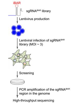 iBAR-CRISPR-library-workflow