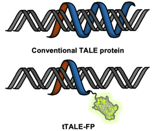 Diagram of double stranded DNA being bound by tTALE-FP with the fluorescent protein fluorescing green