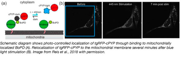 photocontrol protein localization optogenetics