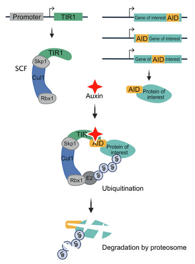 Schematic showing AID tagged on a protein of interest. When auxin binds, it brings a protein complex to the protein of interest, targeting it for degradation by proteosome.
