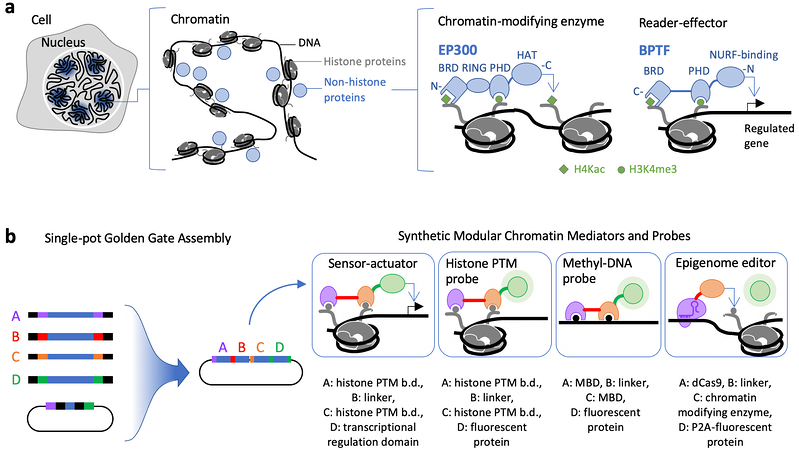 A nucleus within a cell shown to zoom in with chromatic on a DNA strand and examples of histone-modifying enzymes and reader-effector proteins. Below is a schematic of golden gate assembly with examples of potential synthetic chromatic mediators and probes.