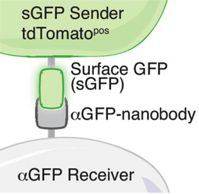 the sGFP sender cell encodes a surface GFP that interacts with an antiGFP nanobody on the receiver cell. The sender cell is green and the receiver cell is grey.