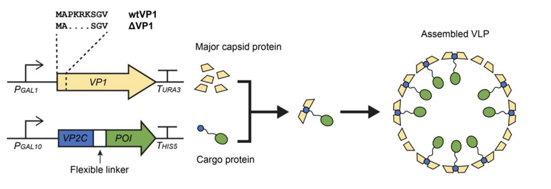 Expression of the major capsid protein and the cargo protein leads to the self assembly of the two protein components to form the assembled VLP.