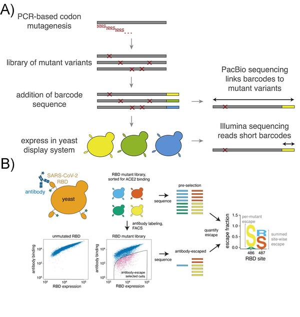Library generation and sequencing schematic and mapping of antibody escape mutations using the yeast display library