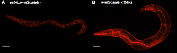Fluorescence microscopy images of split-wrmScarlet labeling proteins with different subcellular locations